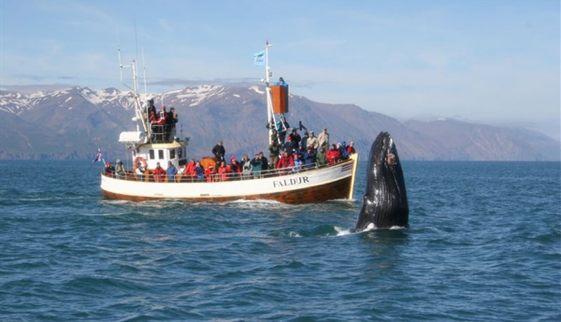 El norte de Islandia es uno de los mejores lugares del mundo para contemplas a las ballenas en su hábitat natural