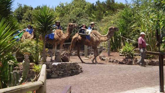 Es cierto: no has viajado a Tenerife si no has montado en un camello...