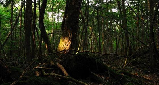 El bosque Aokigahara / Foto: ajari