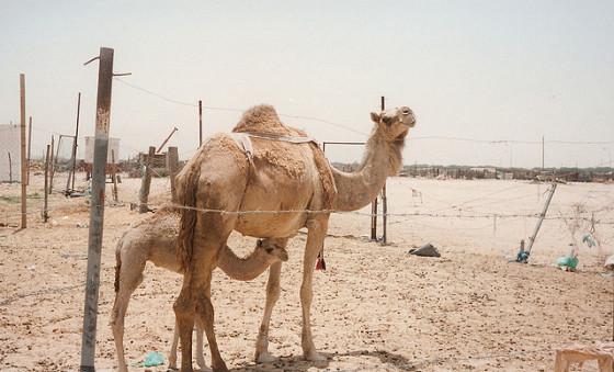 camello arabia saudi