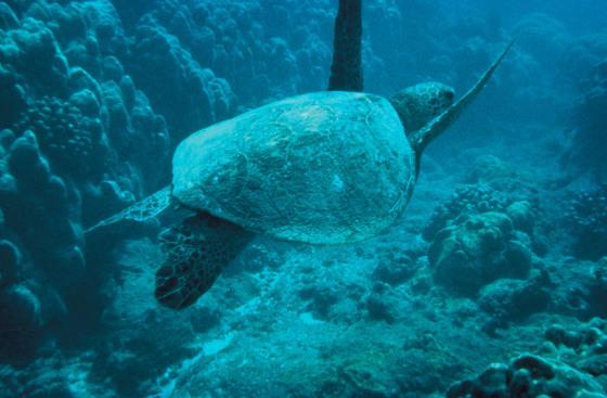 Aldabra_tortuga
