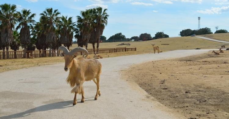 Safari de Madrid. Lara Vázquez (Flickr).