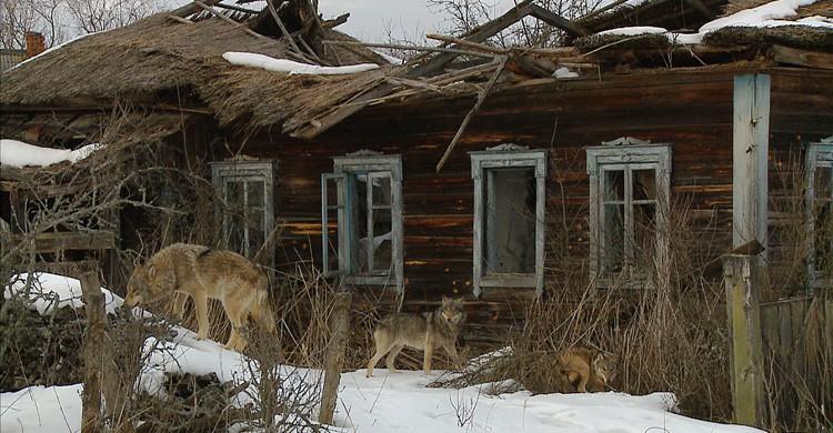 lobos merodean una casa abandanoda en Chernóbil (Istock)