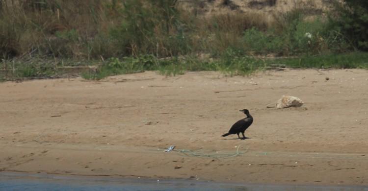 Fauna en la playa del Perellonet. Jegarciat (Flickr)