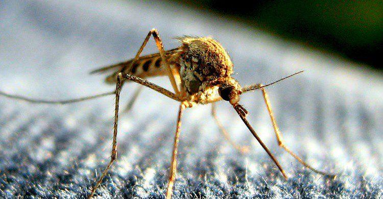 Mosquito. Tom (Flickr)