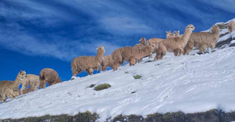 Las llamas y alpacas son unas habitantes más de este bonito lugar (iStock)