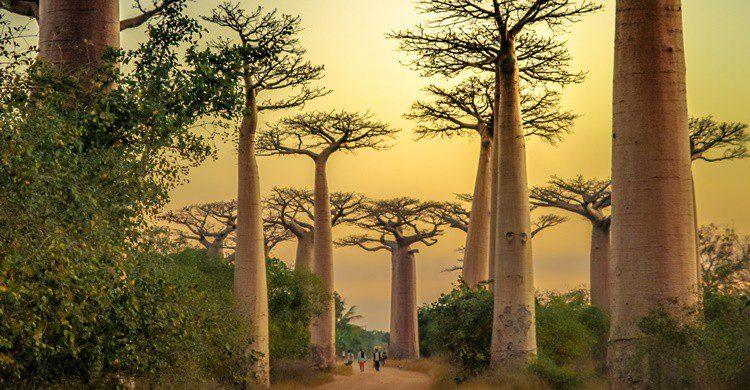 Paisaje típico de baobabs en Madagascar, último lugar que visitó Pfeiffer. Pawopa3336 (iStock)