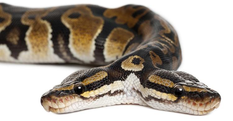 Serpiente de dos cabezas (iStock)
