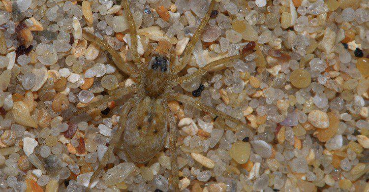 La pulga de arena puede pasar desapercibida en la playa (Fuente: Chausinho / Flickr)