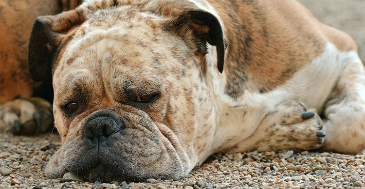 Un perro duerme en el suelo