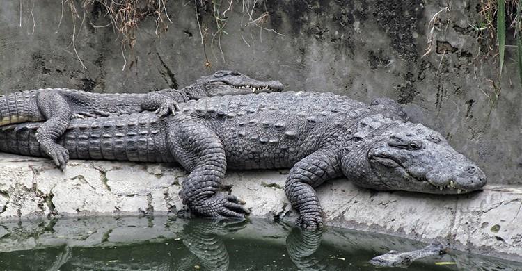 Una pareja de cocodrilos abrazados descansa