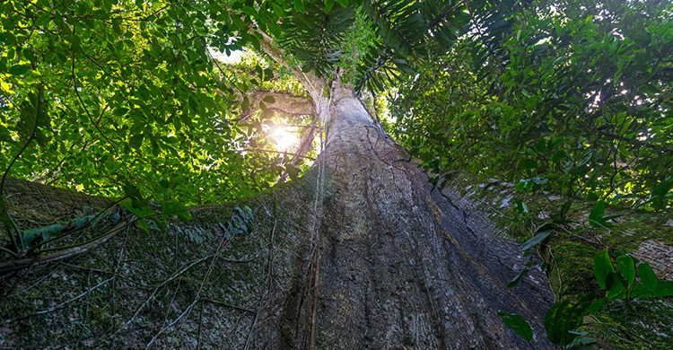 Ceiba en la floresta amazónica