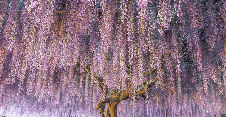 Glicinias en el jardines Kawachi Fuji, Japón