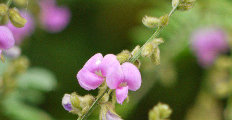 En el lejano oeste se utilizaba veneno para provocar abortos (Fuente: Dineshvalke / Flickr)