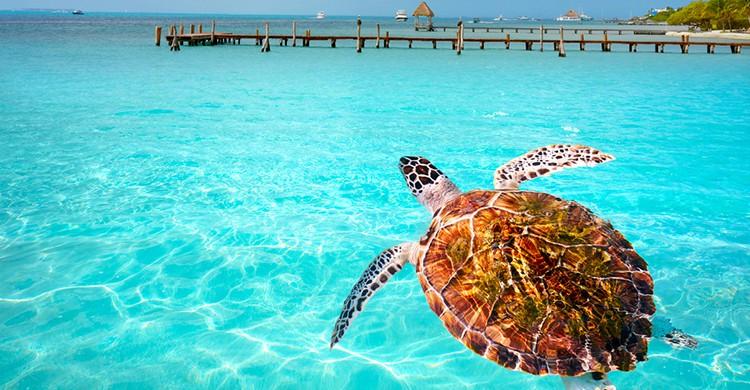 Una tortuga en Ensórquel en Isla Mujeres (iStock)